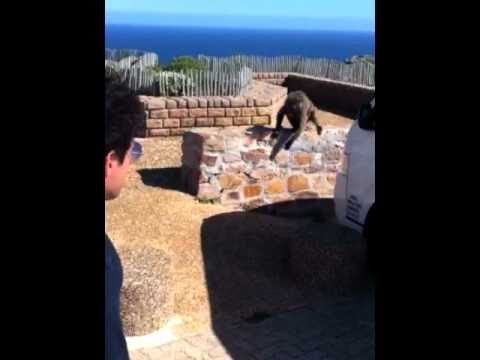 Baboon attack Cape Point South Africa