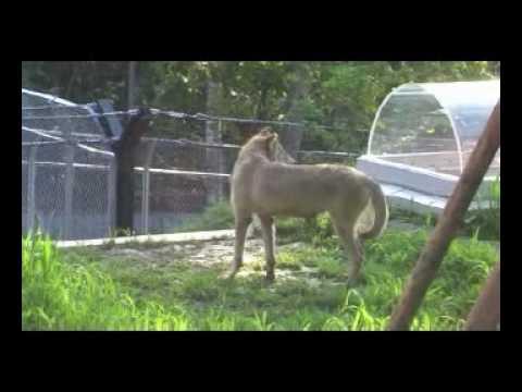 旭山動物園オオカミの遠吠え~亡きクリスの輝き~