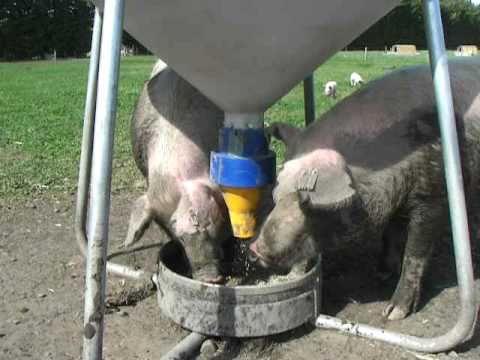 mega swing feeder for pigs youtube
