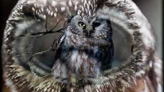Top 16 Boreal Owl - [ By Cover SoranNET ]