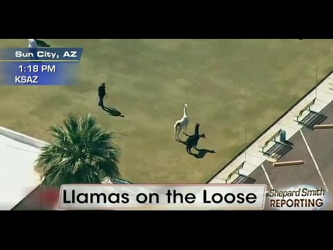 Llamas on the Loose = A HOAX? | What's Trending Now