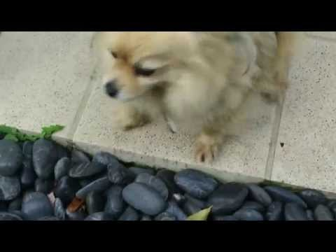 Sniffy - Super Cute Chihuahua ! Melbourne Dog Walkers