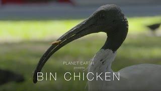 Planet Earth : Bin Chicken (4K)