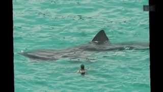 Megalodon Shark Caught on Tape 2015