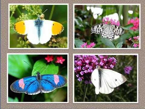 MARIPOSAS / LEPIDOPTERAS  HD  -  BUTTERFLIES  -  ANIMALES MULTICOLORES  -  METAMORFOSIS