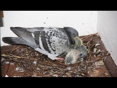Как самому выкормить птенцов голубя