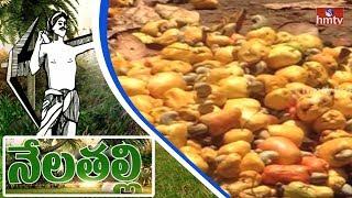రోజు రోజుకు తగ్గుతున్న జీడిమామిడి | AP Govt Neglect on Cashew Crop | Nela Talli