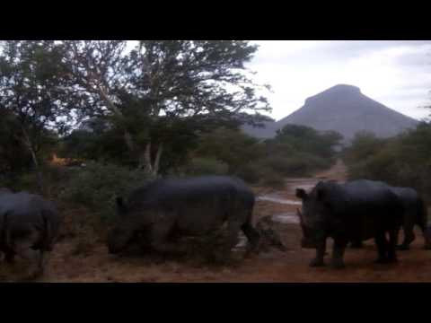 Crash of White Rhinos Resting in Road - South Africa - Marataba Safari Lodge