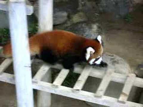 「とべ動物園」でレッサーパンダの赤ちゃんを公開中