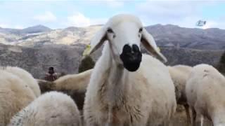 Dedenin Torununa Hediye Ettiği Kuzu, Sürü Sahibi Yaptı