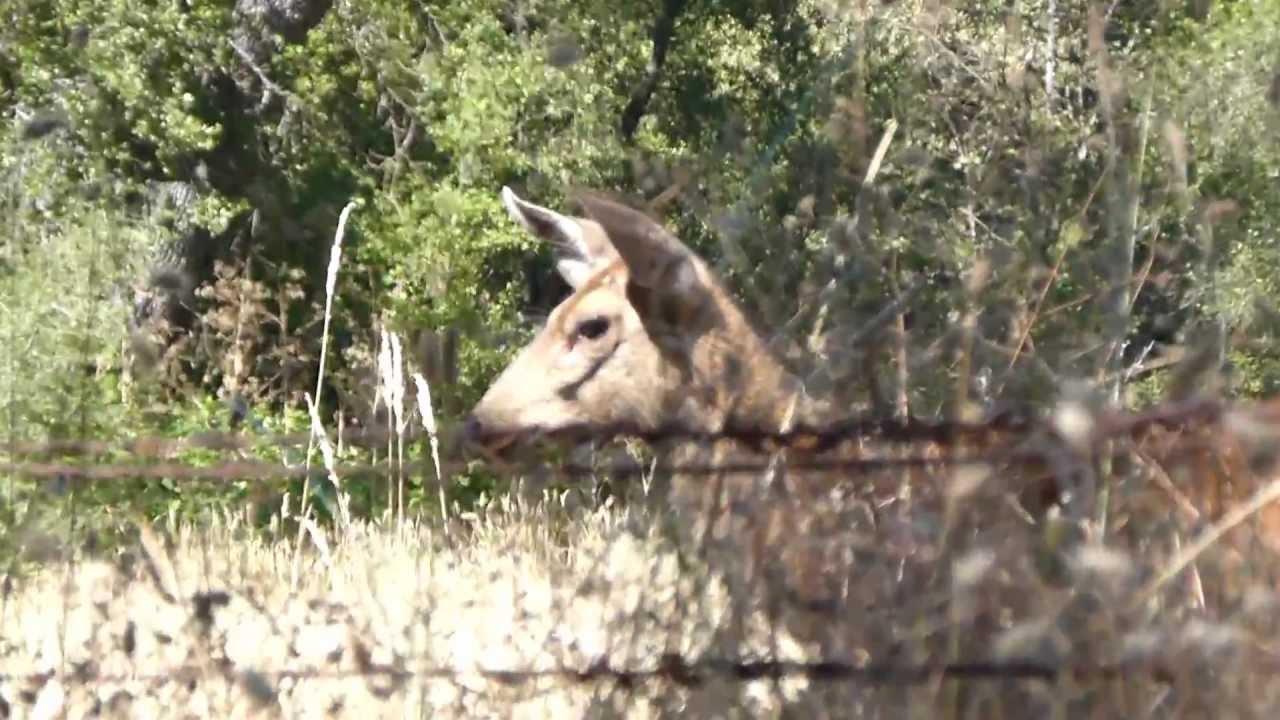 Florida wild boar their diet and their predators