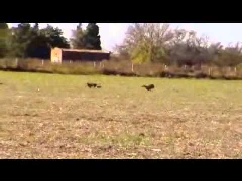 caza de liebres con amigos (argentina) 2014