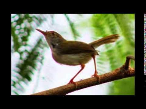 Burung Prenjak Lumut Cocok Untuk Masteran   Masteran Cucak Ijo video