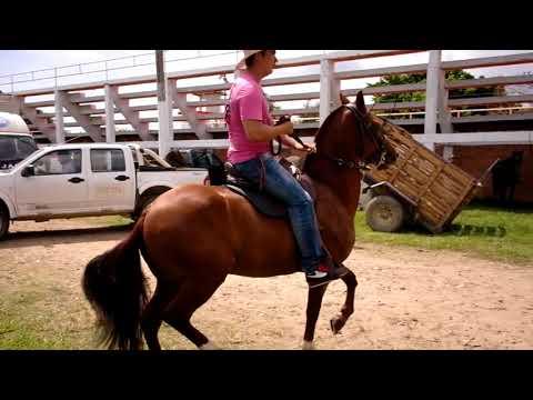 Caballo brioso (2). Momentos previos a la cabalgata en la Feria de Yopal, Casanare, Colombia