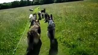 download lagu German Shepherd Group Walk gratis