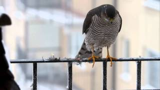 Sparrowhawk while lunch ( Accipiter Nisus ) Krogulec part. 2