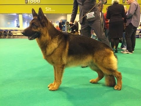 Di Stirling was the judge of German Shepherds for Crufts 2014 where her Best of Breed, for the fourth time at Crufts was Ch Elmo Vom Hühnegrab.