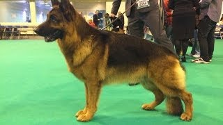 Crufts 2014 - German Shepherd Dog Best of Breed