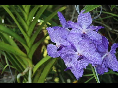 Vanda videolike - Vanda orchid care ...