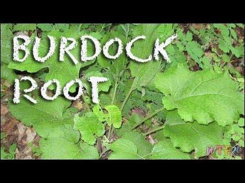 how to grow burdock root