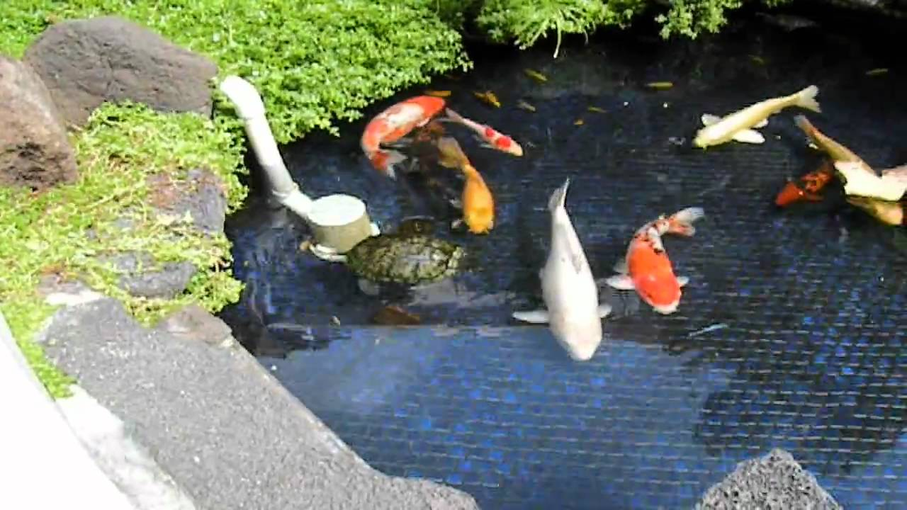 Hawaii vacation ep 1 waikiki giant koi pond with red for Koi pond removal