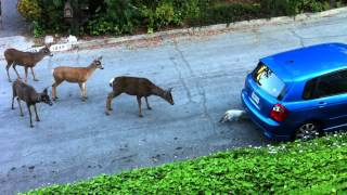Cat vs. Deer (Without Music)