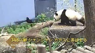 ☆ Cute Panda ☆ #22 激かわシャンシャン カラスに弄ばれる