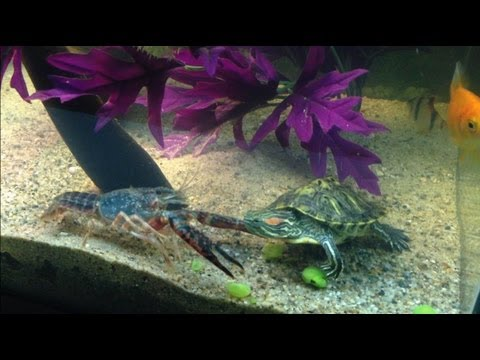 Red Eared Slider  Vs  Fresh Water Lobster