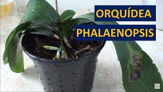 Recuperando uma Orquídea Phalaenopsis