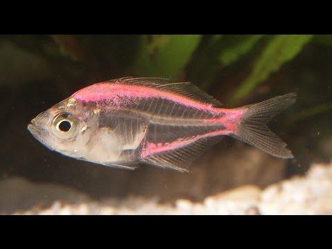 PECES DE ACUARIOS QUE NO COMPRAR► TETRA FANTASÍA Un pez verdaderamente de fantasias yiep!