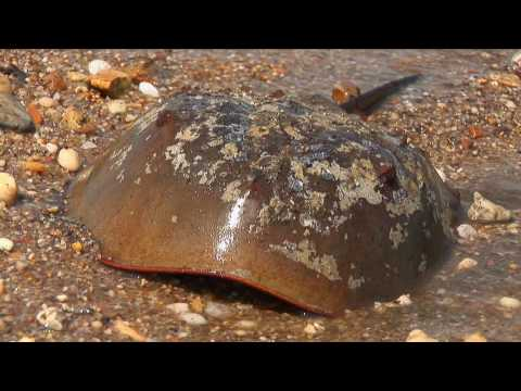 The Horseshoe Crab Spawn
