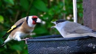 Blackcap Versus Goldfinch