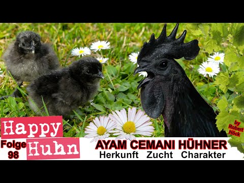 Happy Huhn Folge 98: Ayam Cemani Hühner im Rasseportrait - Das indonesische Schwarzhuhn vorgestellt