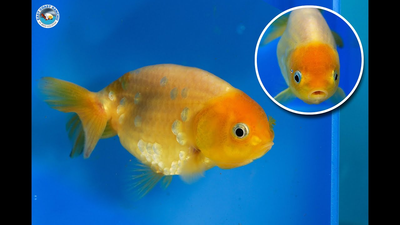 Ranchu goldfish for sale fb721 youtube for Gold fish for sale