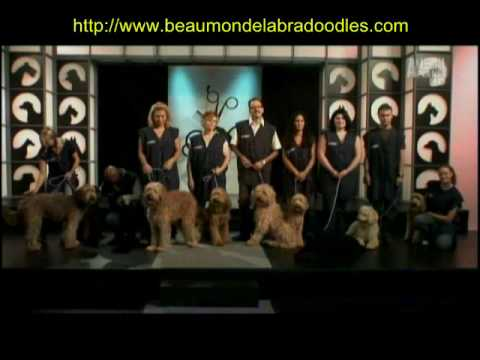 Groomer Has It - Featuring Beau Monde Austrailian Labradoodles