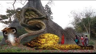 ৫০০ বছরের পুরনো শিমুল গাছে সাপ নাগ-নাগিনীদের বসবাস এবং গুপ্তধন পাহারা দিচ্ছে প্রাচীন জিন ভুতেরা