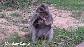 Pity Newborn baby monkey, Newborn monkey want back to his Mum cuz need milk, Monkey Camp part 1173