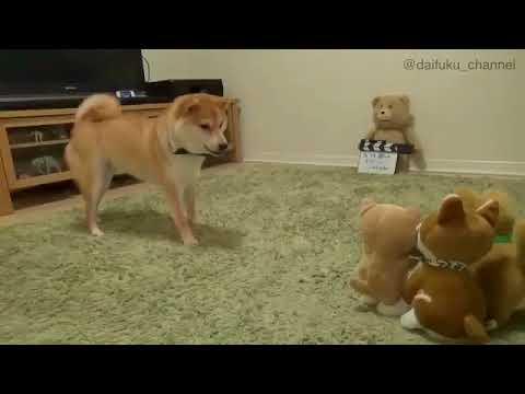 Сиба-ину лает на игрушки-повторяшки | Shiba Inu barks at talking toys