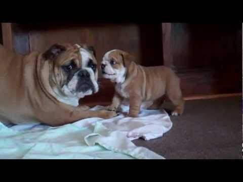 5 week old English Bulldog Puppy barking at 7 month old!