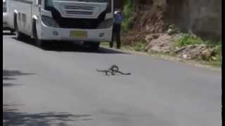 Traffic Stops Dead for This Showdown Between a Mongoose and a Cobra