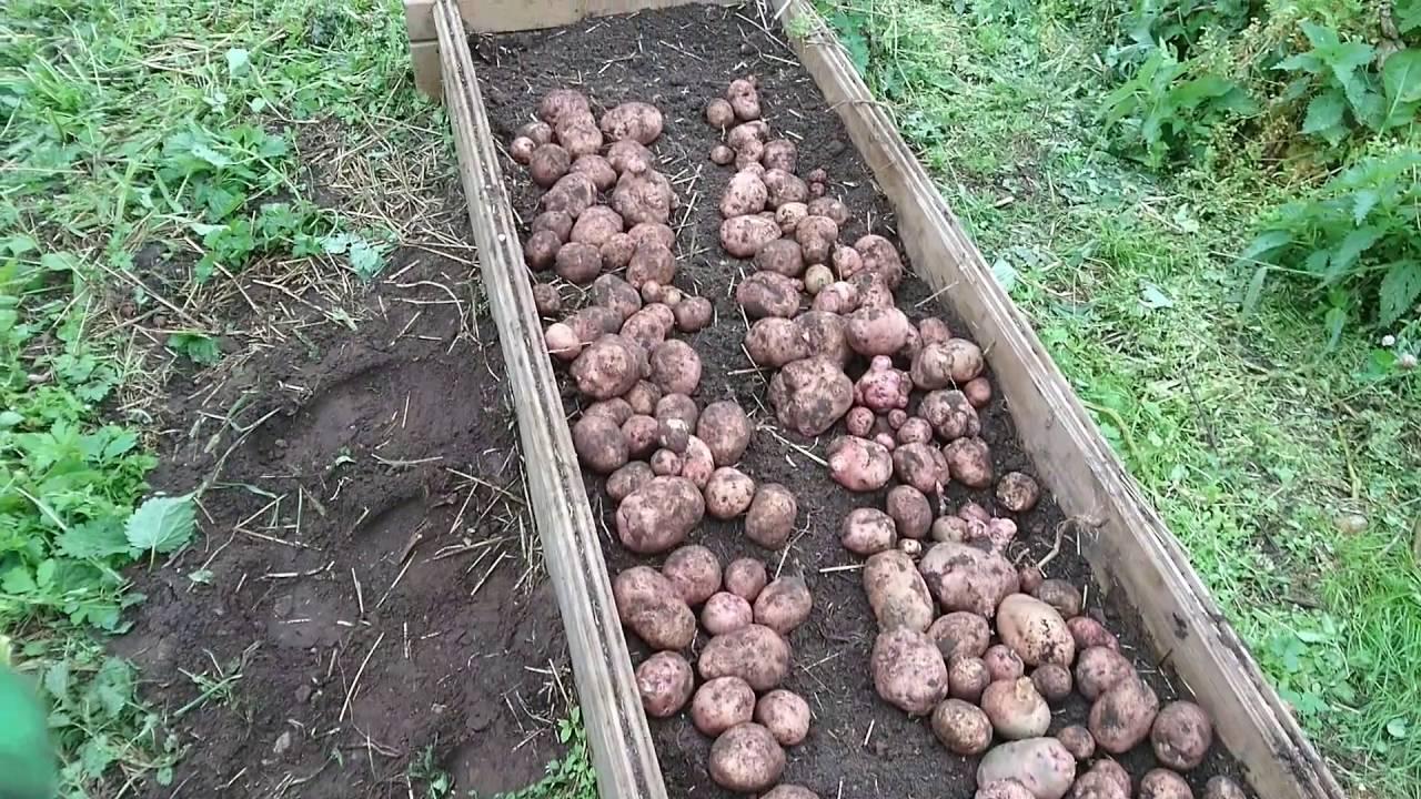 Выращивание картофеля с нуля 31