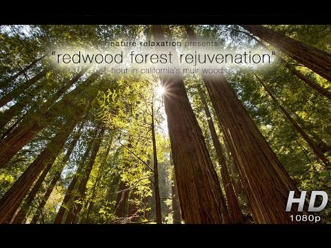 Redwood Forest Rejuvenation NEW 1-Hour Nature Experience Video...