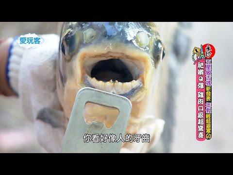 台綜-愛玩客-20160111-小鐘、鮪魚、五熊 @寮國-生死一瞬間!是人吃魚還是魚吃人?