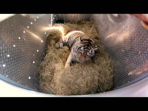 Incredibly Rare Siberian Tiger Release - GoPro Video of the Day