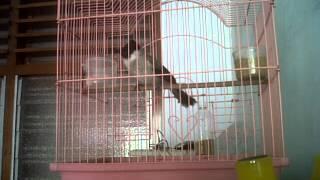 burung kutilang   wapwon com 3gp mp4 hd video songs download
