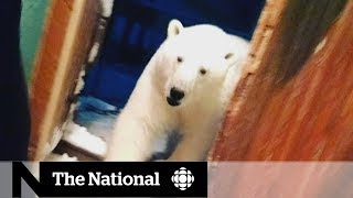 Russian Arctic town struggles with polar bear 'occupation'