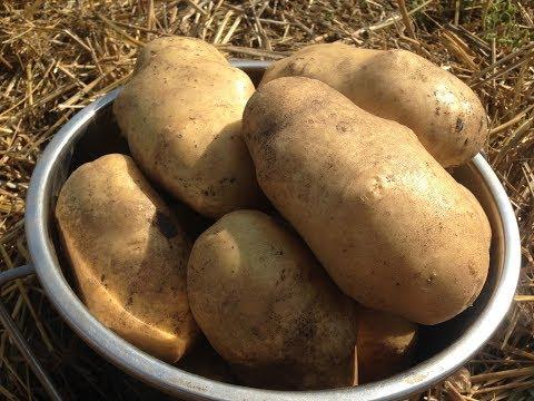 Как вырастить ведро картофеля с куста /Выращивание картофеля под соломой / Собираем урожай 2017
