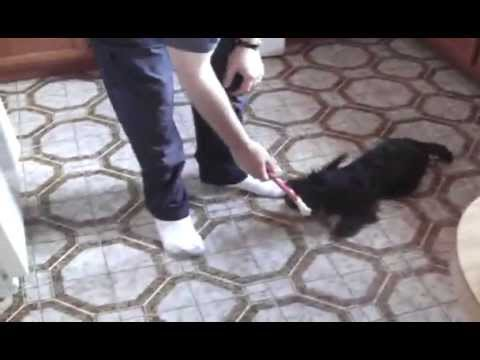 Wallace the Scottish Terrier Video