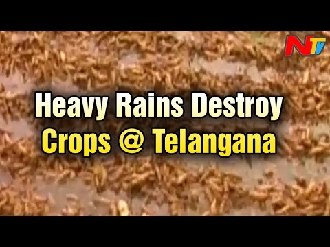 Heavy Rains to Destroy Crops across Telangana State
