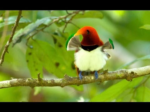 King Bird-of-paradise video